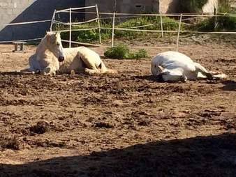 rescued horse couple relaxes together