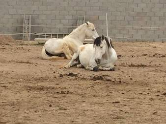 Rescued horse couple relax together