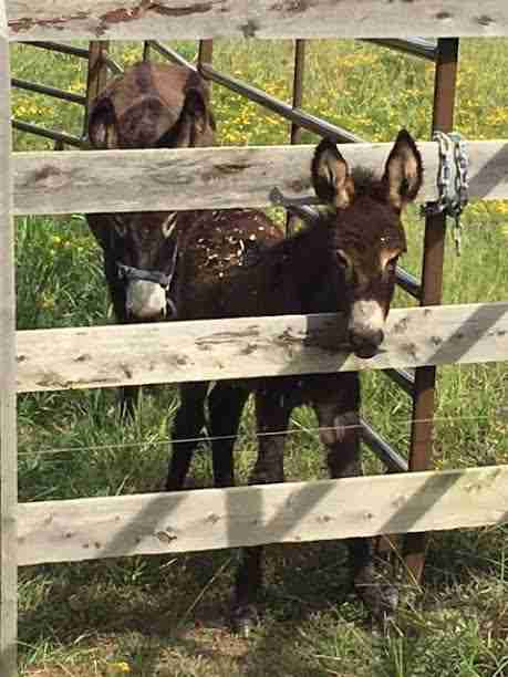 Two donkeys outside