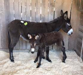 Mother and baby donkey in pen