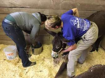 People giving vet care for sick donkey