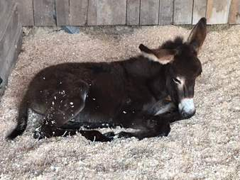 Donkey lying in sawdust