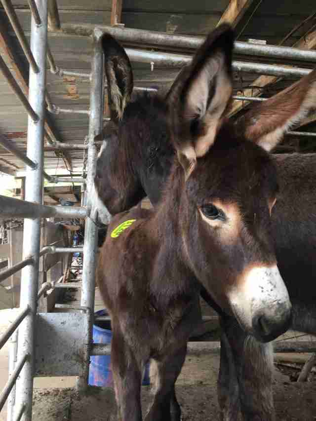 Donkeys in shipping pen