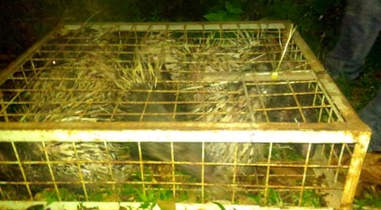 Porcupines in cage seized from traffickers