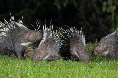 Malayan porcupines