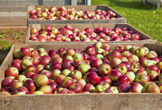 The Best Apple-Picking Trips You Can Take From Boston