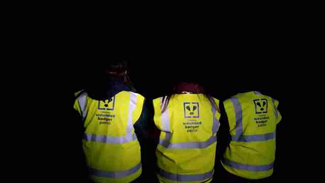 Volunteers looking for badgers who need saving in Cheshire, England