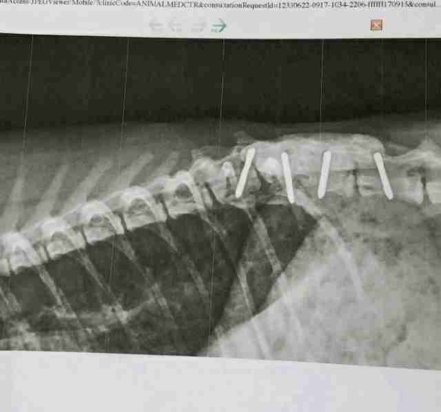 X-ray of cat spine