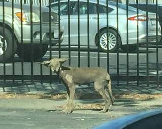 Coyote with mange in parking lot