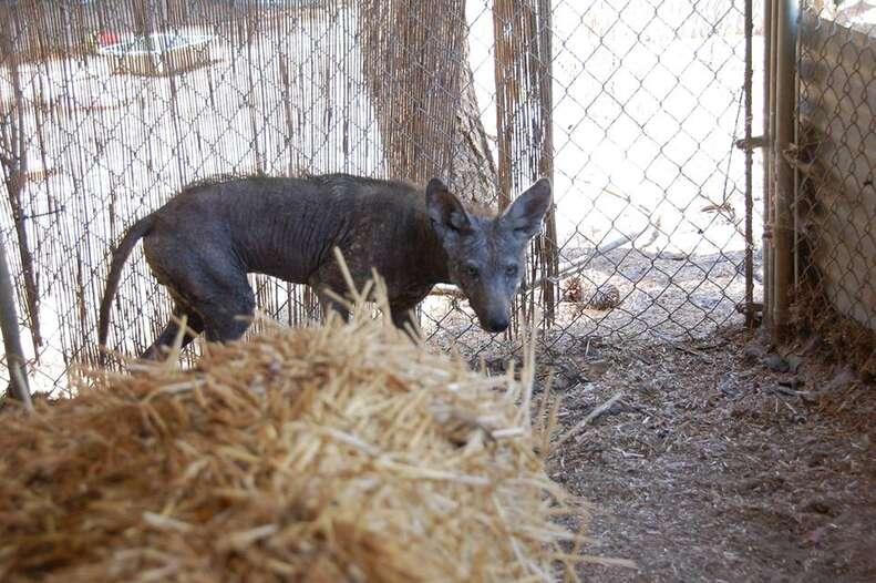Wild coyote in rehab enclosure