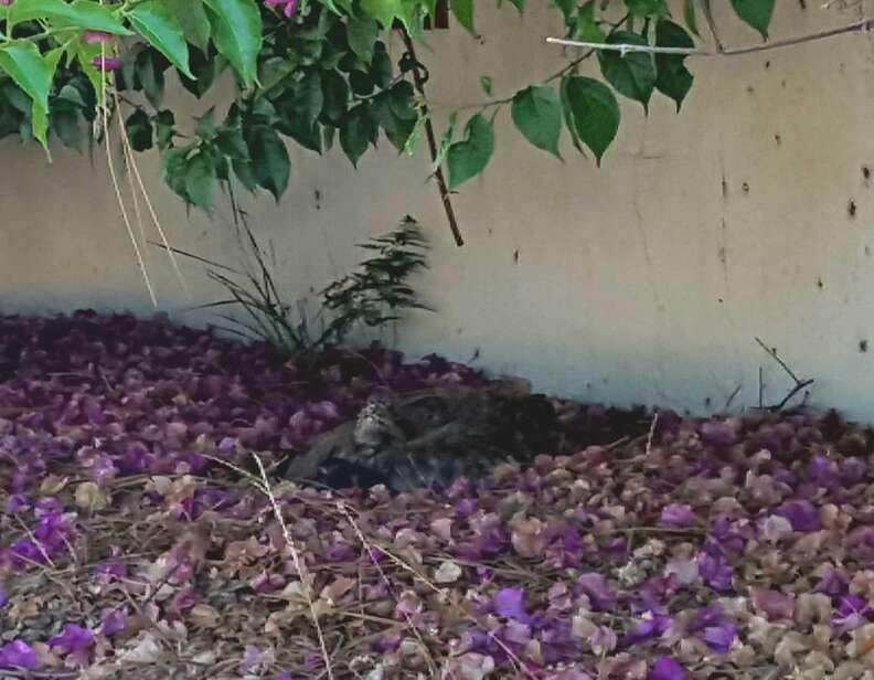Coyote sleeping on ground