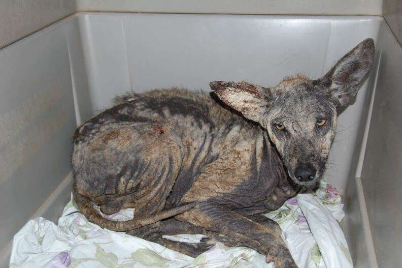 Coyote with mange in cage