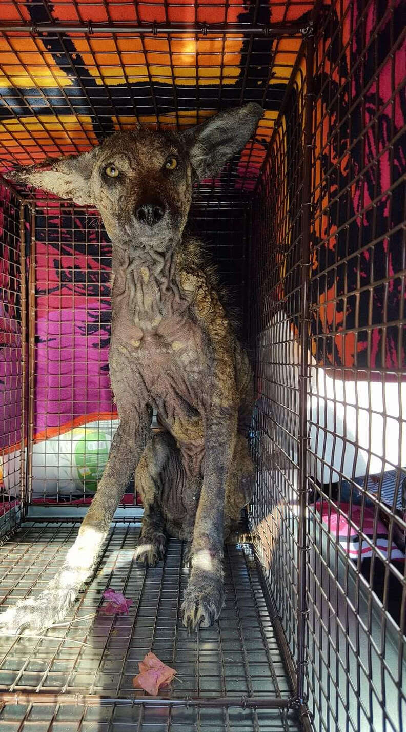 Wild coyote in cage
