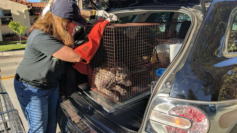 Woman putting coyote into her car