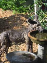Coyote drinking out of birdbath