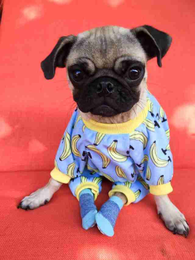 Injured pug in pajamas