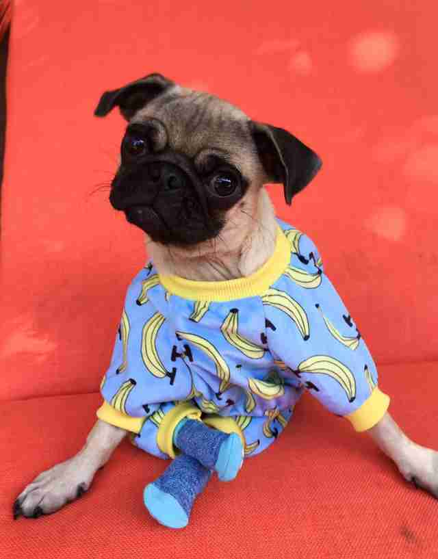 Injured pug in pajamas and socks