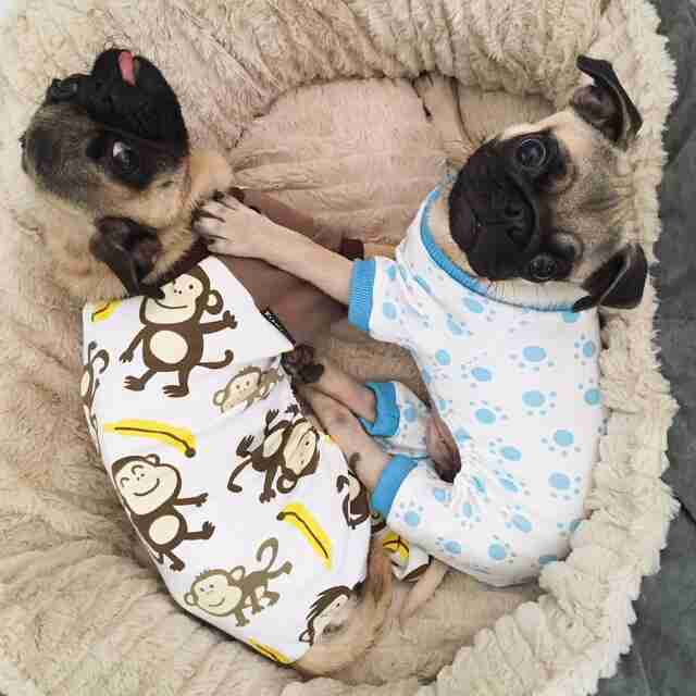 Two pugs in pajamas in dog bed