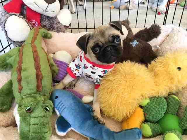 Pug in pajamas in play pen