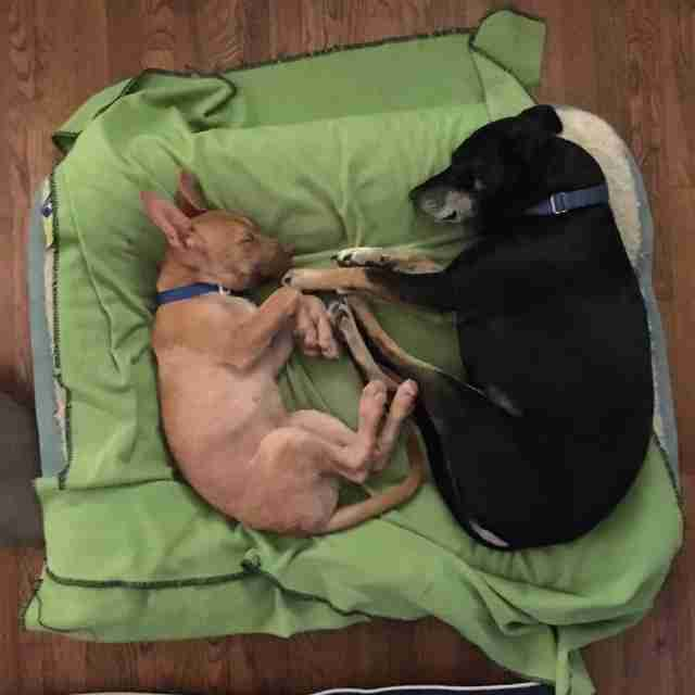 senior dog and rescue puppy cuddle