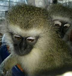 Two rescued monkeys in cage together