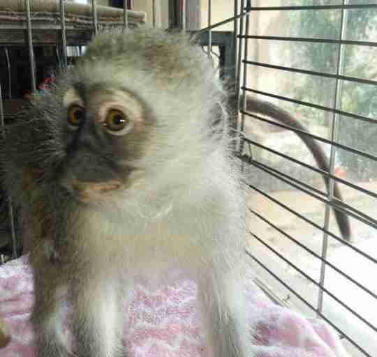 Rescued monkey in cage