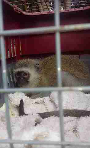Rescued monkey in transport crate