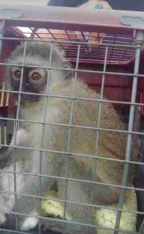 Rescue monkey in carrier