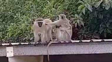 Monkey family greeting each other