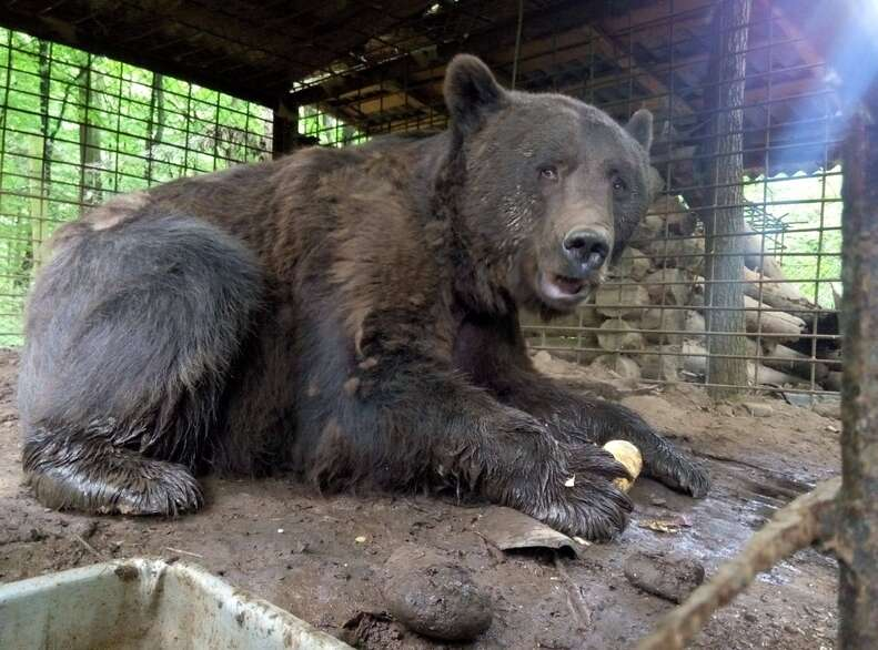 Caged abused bear