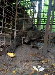Caged abused bear in the Ukraine just before rescue