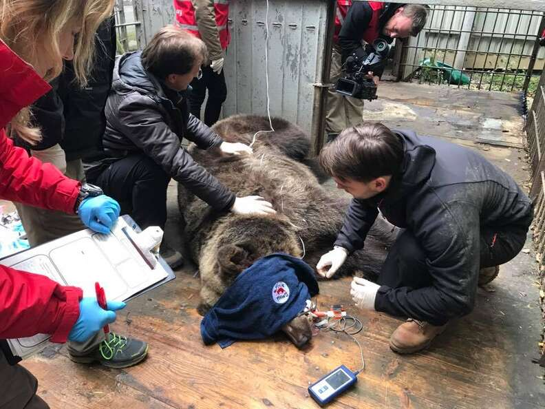 Captive bear getting rescued