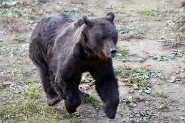Rescued bear at sanctuary