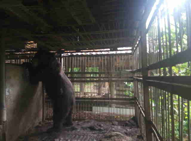 Caged bear in the Ukraine