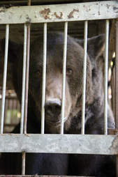 Bear being rescued from hunting station