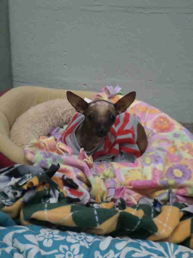 Abandoned Chihuahua in sweater