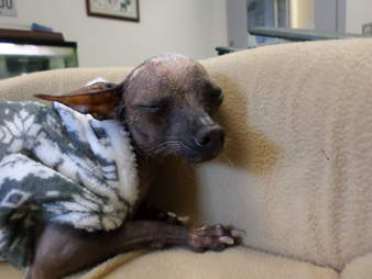 Abandoned senior Chihuahua