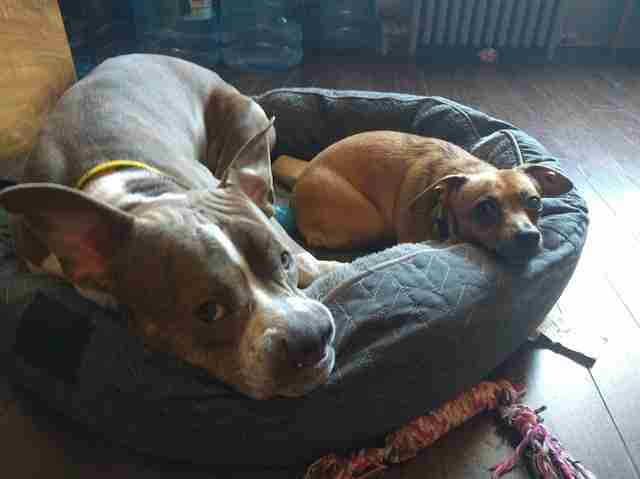 Dogs sharing dog bed