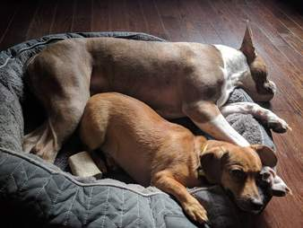 Dog snuggling in dog bed