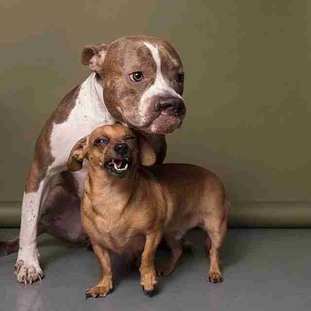 chiweenie and pit bull are best friends and need a home together