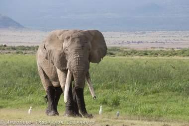 Big tusker African elephant