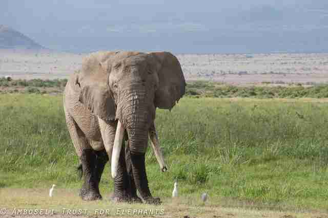 Big tusker African elephant