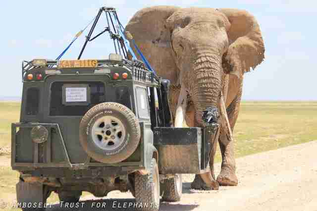 Car watching big tusker African elephant