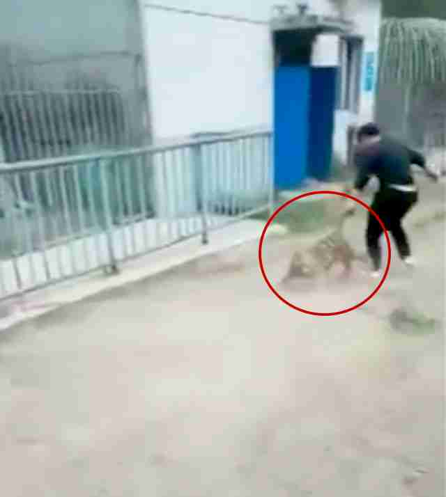 Tiger cub being pulled back to enclosure at zoo in China