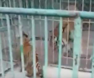 Tiger cub separated from mother at zoo in China
