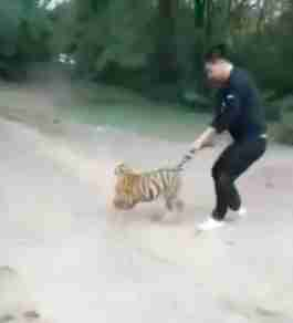 Keeper pulling tiger cub's tail at zoo in China