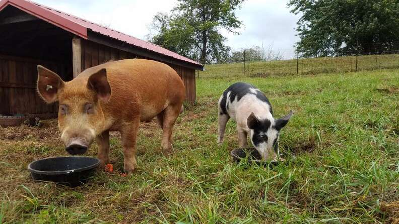 Rescued pig and boar best friends at Maryland sanctuary