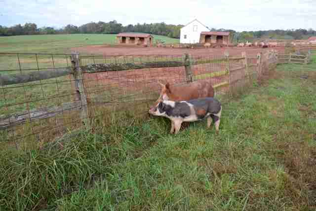 Rescued pig and boar best friends at sanctuary in Maryland