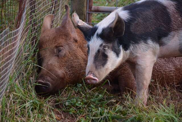 Rescued pig and boar