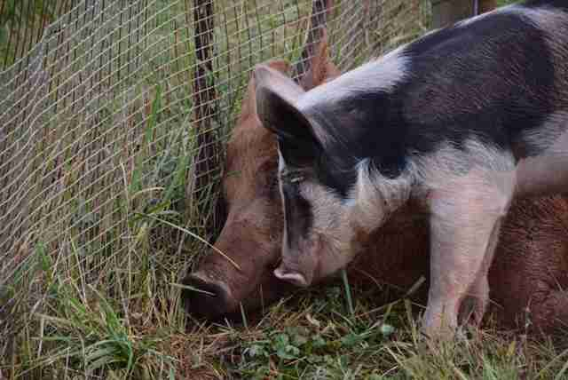 Rescued pig and boar best friends